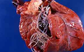 HeartWorms-in-dogs